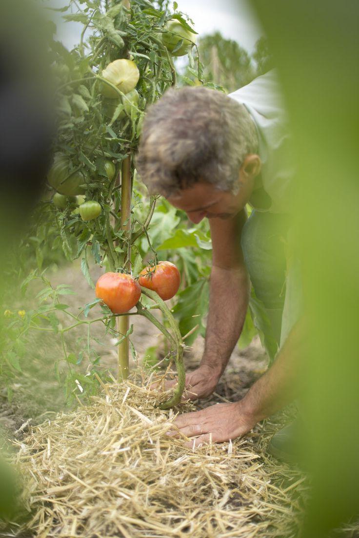 Bien pailler est un geste simple à condition de respecter quelques règles : commencez par ameublir la terre et arracher les herbes indésirables jusqu'aux racines et nivelez la terre. Choisissez le bon paillage en fonction de vos cultures et arrosez abondamment.