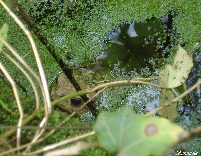 Le rane lungo i percorsi dell'Acquedotto pugliese #Valleditria