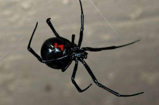 Вирус-бактериофаг WO на одну треть состоит из ДНК паука черная вдова— ученые
