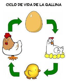 Spanish activity for kids: Chicken-and-egg cycle from Menta Más Chocolate - recursos para educación infantil, ciclo de vida de la gallina