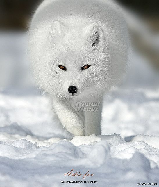 ~~Arctic fox by www.digitaldirect.ca~~