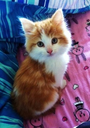 His Name is SaphireWhales Watches, Cat Rules, Animal Pictures, Kitty Cat, Animal 3, Cat Cat, Kittens, Orange Kitty, Adorable Animal