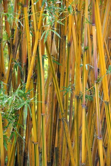 Nj Bamboo Landscaping: 85 Best Images About Bambous On Pinterest