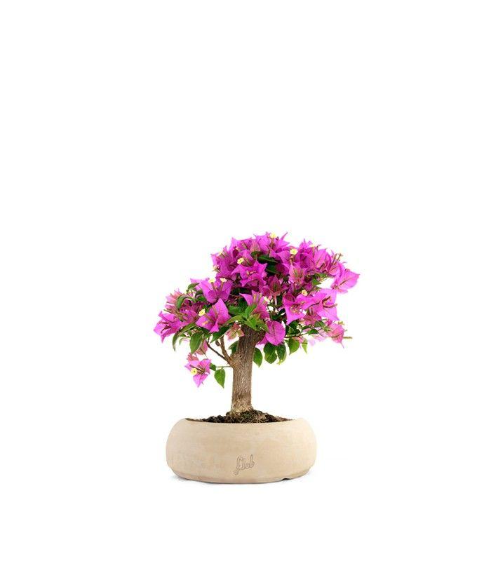 Nome: BougainvilleaFamiglia: NyctaginaceaePaese di provenienza: BrasileDiametro del vaso: 15 cmAltezza da base vaso: 30 cmStoria e curiosità:spettacolari fioriture primaverili dal sapore esotico  SPEDIZIONE GRATUITA