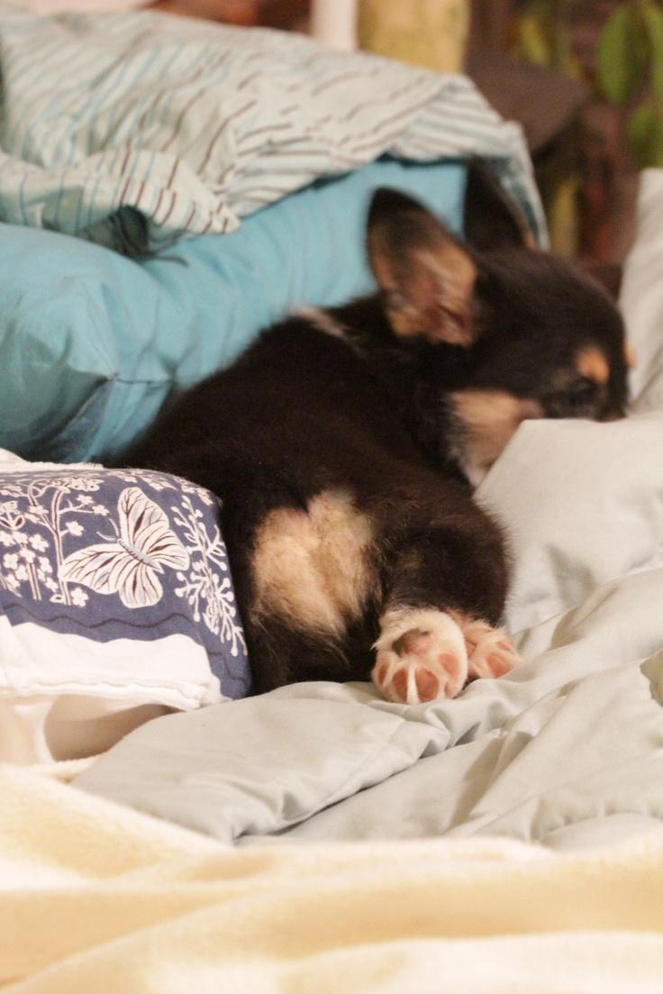 17 Terbaik Gambar Tentang Corgis Di Pinterest Anak Anjing Lucu