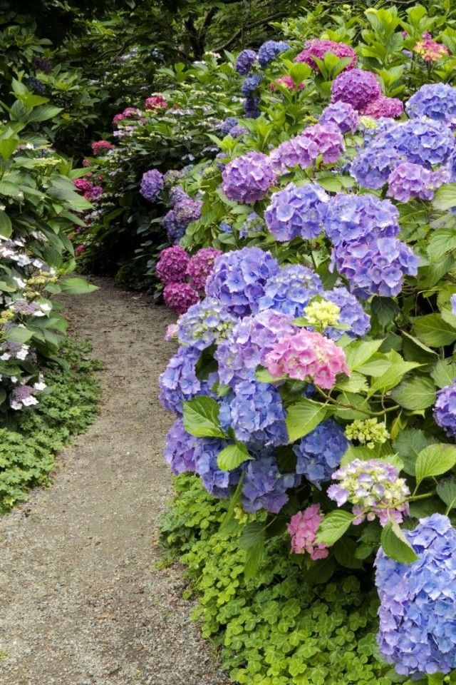 Lace cap hydrangeas on the left and old fashion Annabelle hydramgeas on the right ... underplanted with ornamental clover