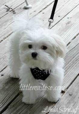 AKC Toy & Teacup Maltese Puppies