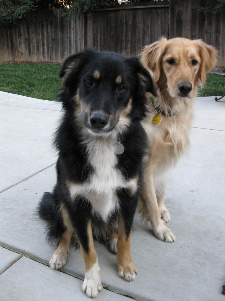 BorderAussie Dog Breed Information and Pictures