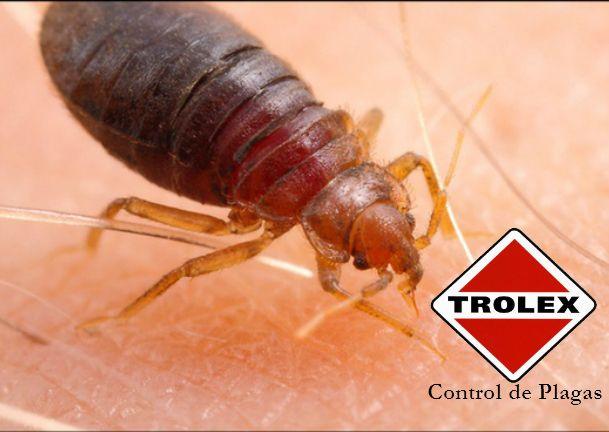 Cimex lectularius, vulgarmente conocido como chinche o chinche de las camas, es un insecto hemíptero de la familia Cimicidae. Su alimentación es hematófaga, es decir, se nutre con sangre de humanos y otros animales de sangre caliente.
