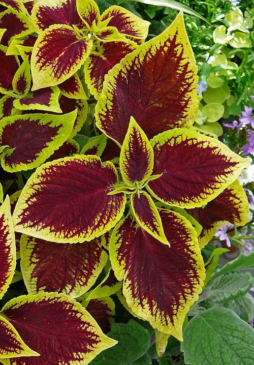 Coleus plants for winter colour grow as potted indoor for Easy to keep garden plants