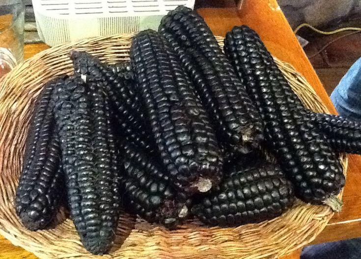 niebieska kukurydza kukuruza