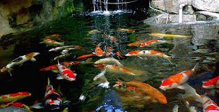 Budidaya ikan arwana, Budidaya ikan koi di akuarium, cara budidaya ikan koi agar warnanya bagus, cara budidaya ikan koi di kolam terpal,