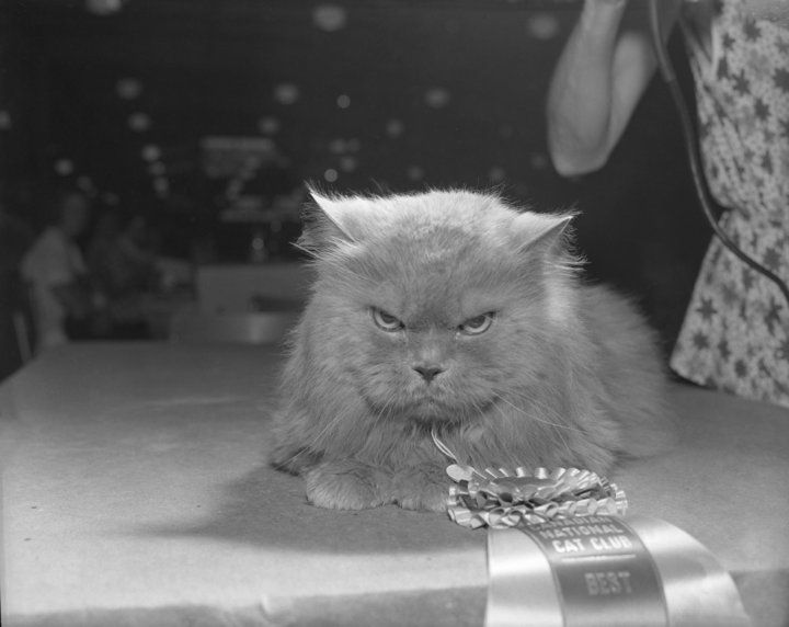 Wayback Wednesday | Best in Show, 1962 CNE Cat Show | Prize-winning expression…wonder what he's thinking