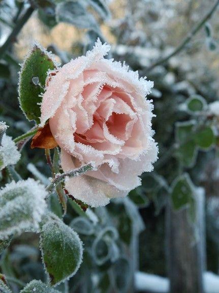 Pflanzen im Garten haben nicht nur von Frühling bis Herbst ihren Reiz. Verzichtet man darauf Gräser, Stauden und Rosen im Herbst abzuschneiden, ergeben sich bei Frost und Schnee zauberhafte Bilder ….