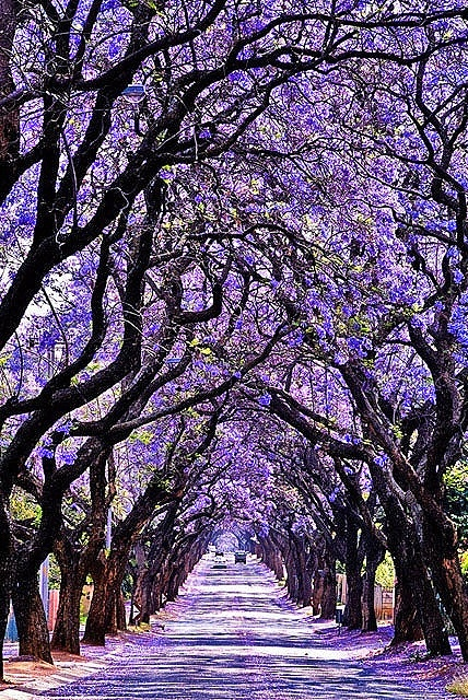 A row of Jacaranda trees in Pretoria, a city in the northern part of Gauteng Province, South Africa .