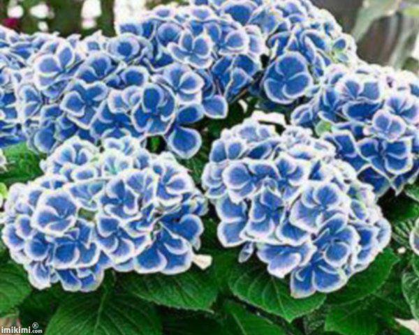 Les 25 meilleures idées de la catégorie Arbuste à fleurs bleues ...
