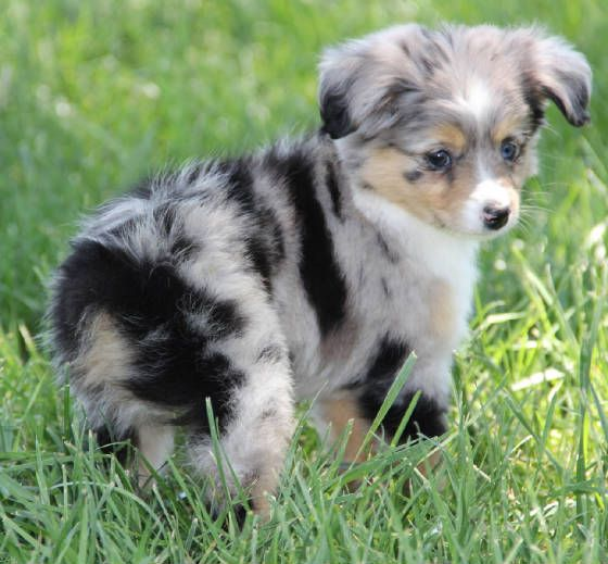 Toy Aussie Puppy