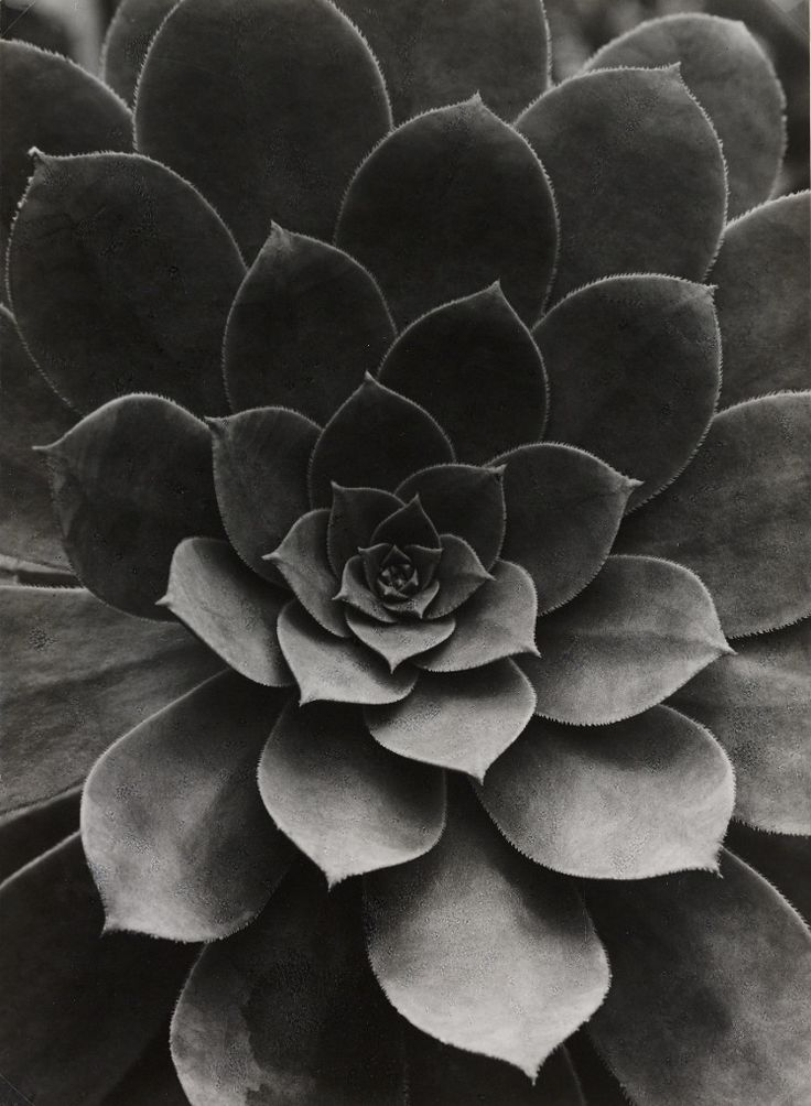 Sempervivum Percarneum, 1922, by Albert Renger-Patzsch The German modernist photographer was at the centre of the New Objectivity (Neue Sachlichkeit) movement. This plant study was published in his landmark book, Die Welt Ist Schön (The World is Beautiful) in 1928