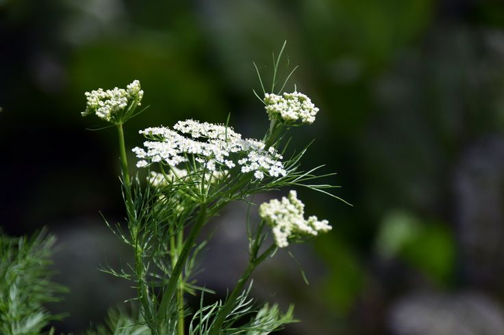 Caraway - A potent spice to prevent embarrassing gas