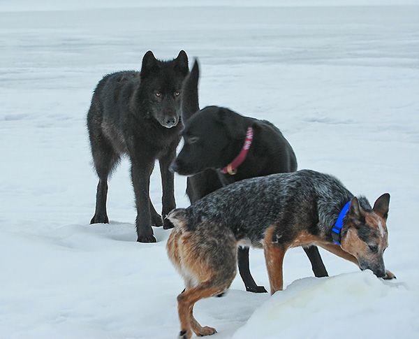 En 2003, dans l'arrière-cour de sa maison à Juneau (au Canada), le photographe Nick Jans et sonlabrador sont tombés nez à nez avec un loup sauvage d'Alaska. De 2003 à 2010, Roméo vint s'amuser et échanger avec ses amis. Une médaille est dédiée à sa mémoire et lui rend hommage. Regardez cette belle histoire !