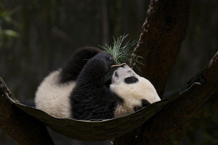 panda.  http://farm5.static.flickr.com/4116/4752185118_7187317f69_b.jpg