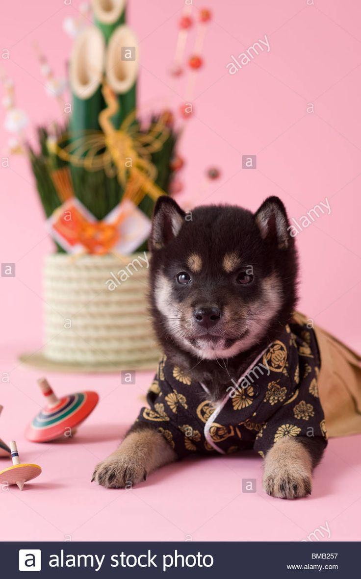 Shiba Puppy and Japanese New Year Celebration Stock Photo