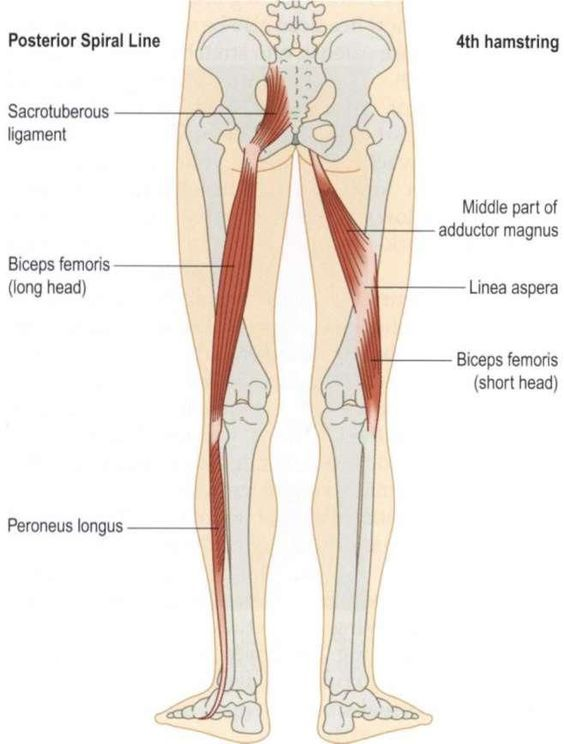 If long head BF gets pulled towards the femur and fibula, it stretches itself across the sciatic nerve, resulting in pins and needles down the back of the leg and into the foot. Description from drdooleynoted.com. I searched for this on bing.com/images