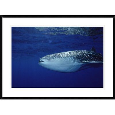 Global Gallery 'Whale Shark Portrait, Largest Shark Species, Cocos Island, Costa Rica' Framed Photographic Print Size: