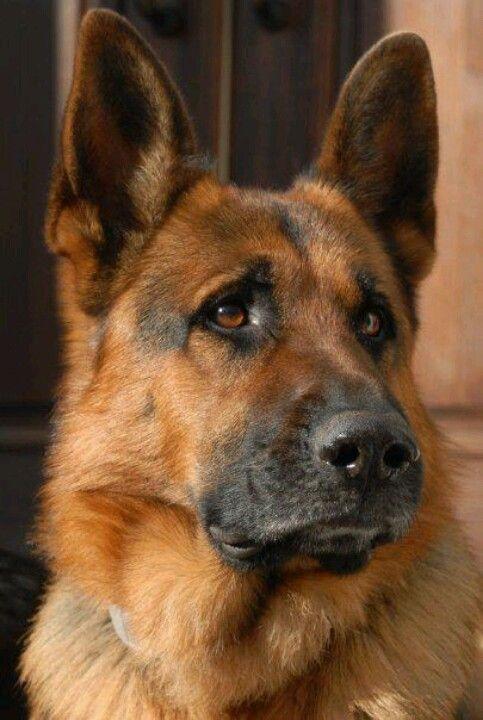 German Shepherd - pastore tedesco - cani