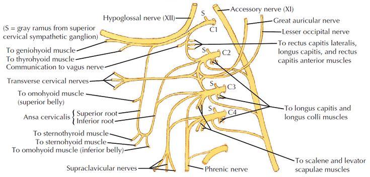 how to remember cervical plexus