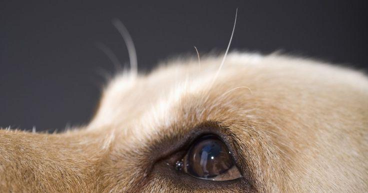 Diferenças entre o olho humano e o animal. Embora os humanos sejam parte do reino animal, há muitas diferenças evolutivas entre o corpo humano e o animal, e o olho é uma delas. O olho, ou a câmera do corpo, é similar em ambas as espécies, no sentido de que usa a pupila, retina e lentes de foco. Por meio da adaptação e por causa de diferentes necessidades e requerimentos, os olhos de ...