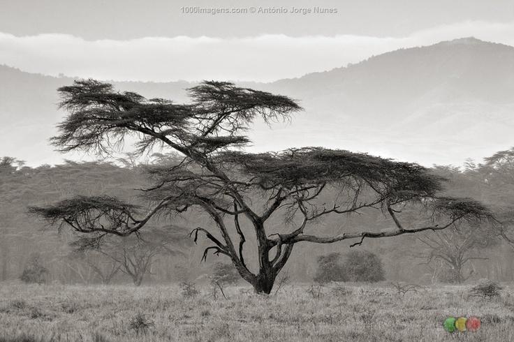 Acacia Tree @ Nakuru, Kenya