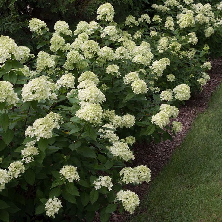 1000 ideas about little lime hydrangea on pinterest hydrangea paniculata hydrangeas and. Black Bedroom Furniture Sets. Home Design Ideas
