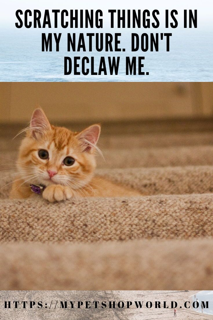 When A Cat Is Scratching Your Furniture There Are A Few Things You Can Do One Thing You Should Not Do In Any Case Is Declawing Your C Cats Pets Animals