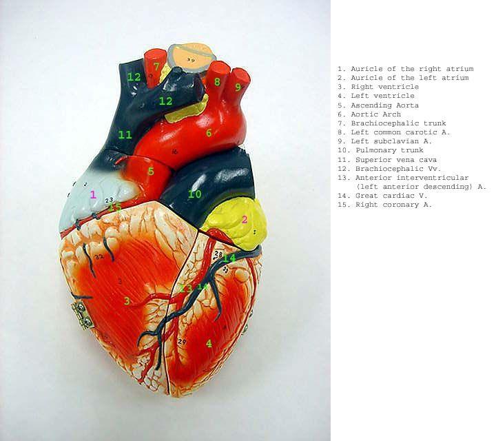 heart_ant_label.jpg (720×640)