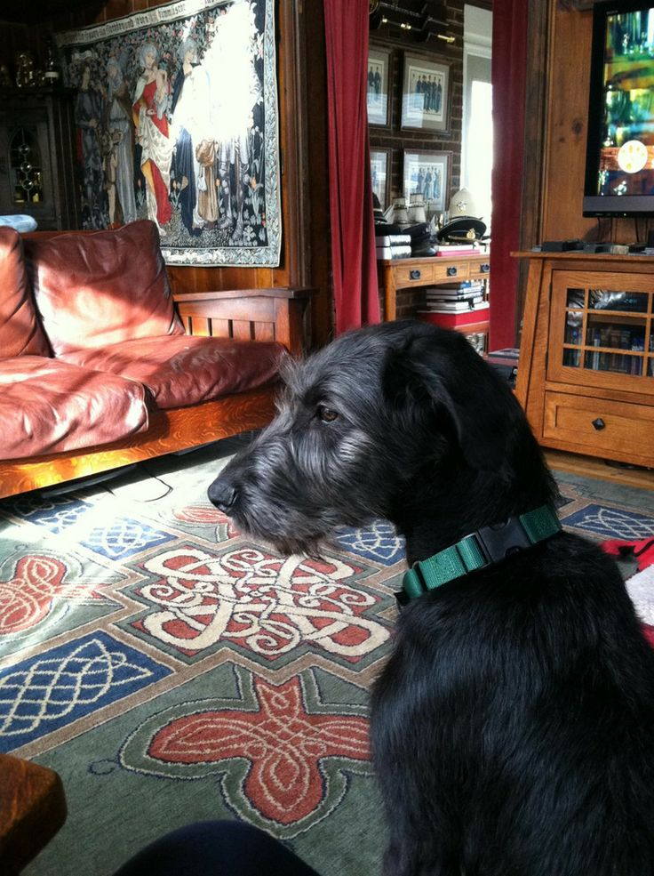 Murphy On A Celtic Ardmore Carpet In Green 5x8 Quality