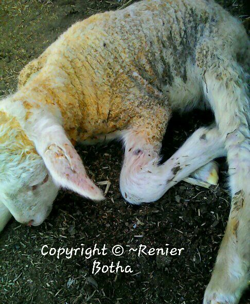 2 days old Ram Lamb...... on farm outside Koppies