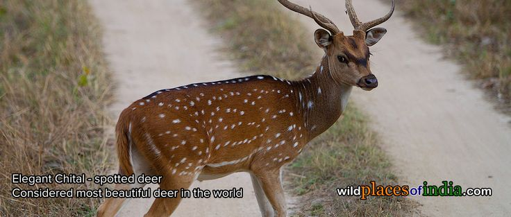 Elegant Chital - spotted deer in Kanha. The time to see this elegant deer is now. See Kanha with us. http://wildplacesofindia.com/kanha-national-park-and-tiger-reserve.html