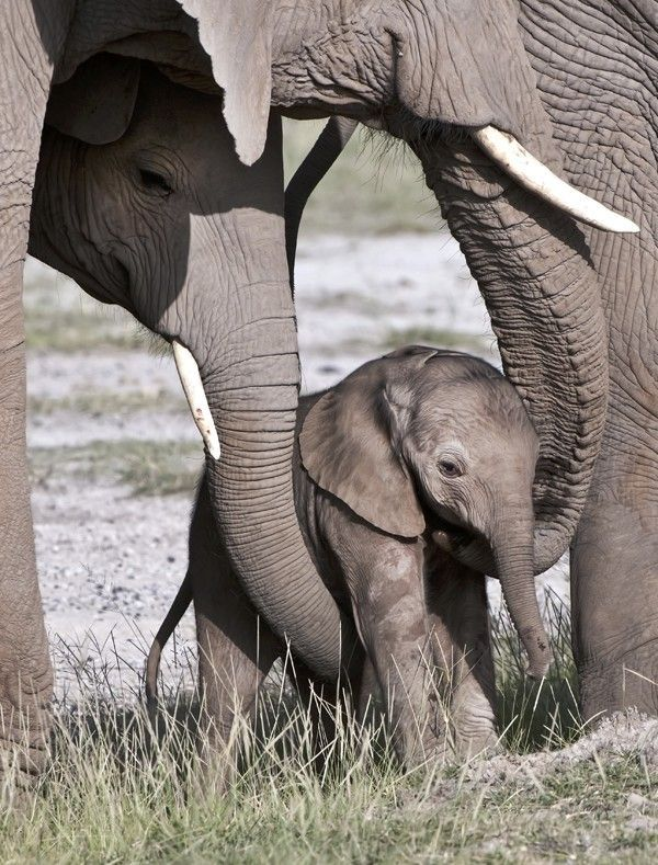 It is said that the bond between a baby elephant and its mother is the closest of any animal on earth. A female baby will remain close with her mother right into her own adulthood until the mother ages and dies. #Animals #Elephants #Motherhood #Children