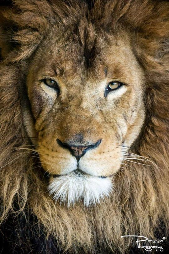 Portrait Lion The King By Passie