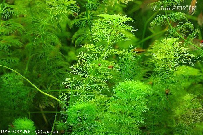 Limnophila sessiliflora  | © Johan  zadni cast, u sten, 2x, 22 - 28 st.