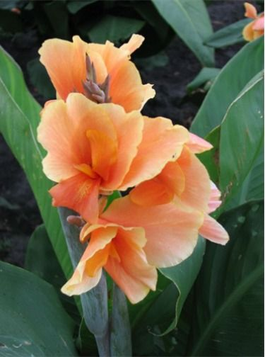 Canna Lily 'Tropical Sunrise'