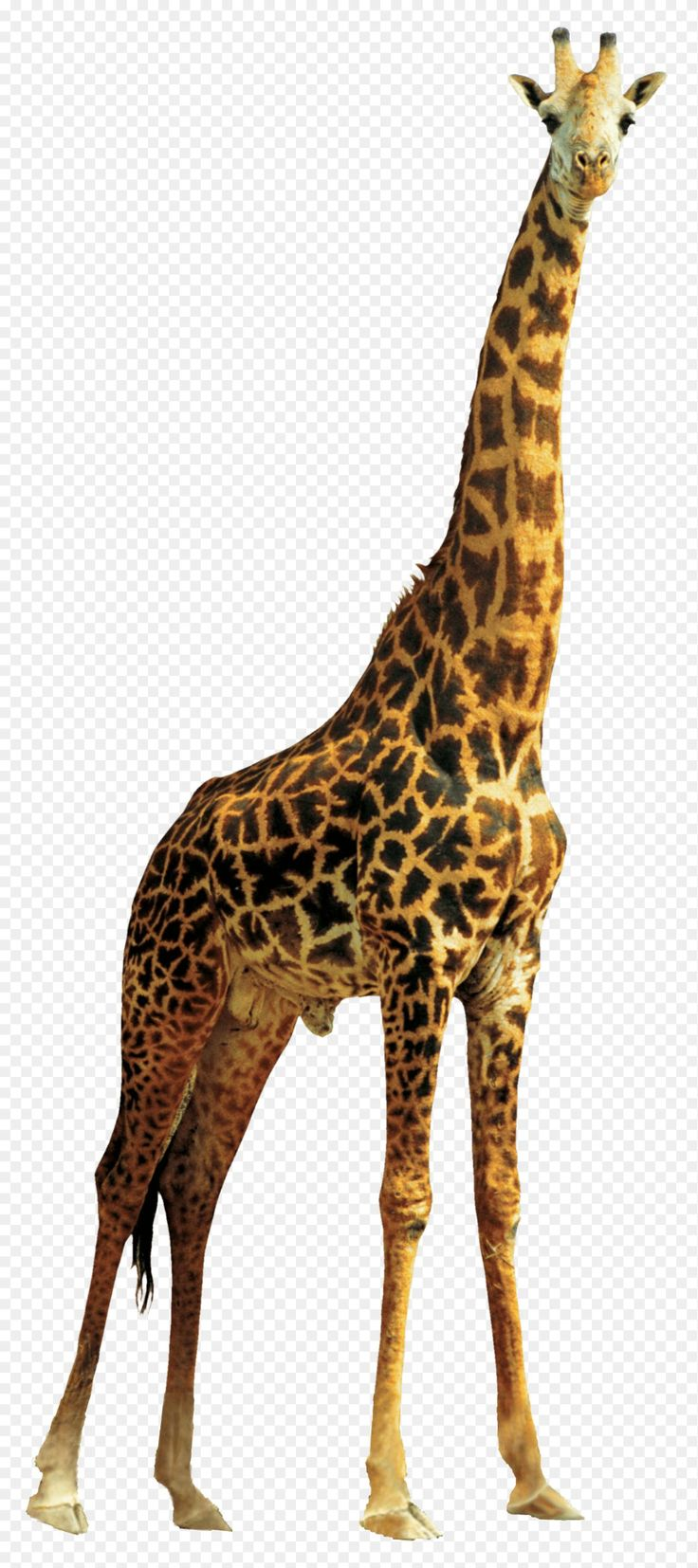 Giraffe Png Giraffe Png Transparent Images Png All 1321 2970 Png Download Free Transparent Background Giraffe Png Giraffe Images Giraffe Pictures Giraffe