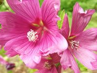 Hollyhock Mallows, How to Grow and Care for Mallow Plants - Garden Helper, Gardening Questions and Answers