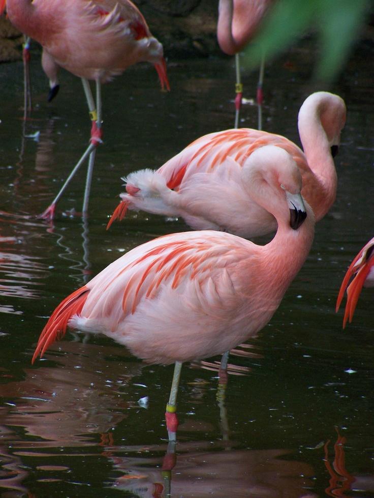 Flamingos At Atlanta Zoo
