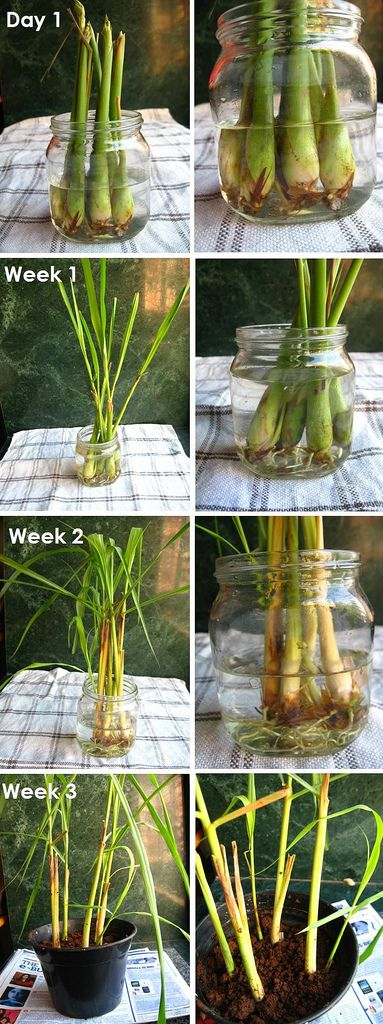 "How To Re-grow Lemongrass - buy @ supermarker, and put in 1"" or so of water, two days should start roots. Change water every 1 day or 2. In 3-4 wk, will have about 2"" of roots, and now you can transfer to soil. Keep watered well, but not soaked. Can withstand a good amount of sunlight."