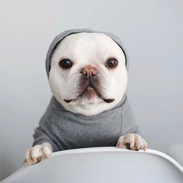 """Without my Ears i look like a Seal"", Theo, the tFrench Bulldog, @heobonaparte on instagram."