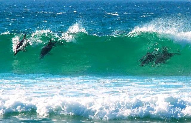 Dolphins Surfing in Denmark WA