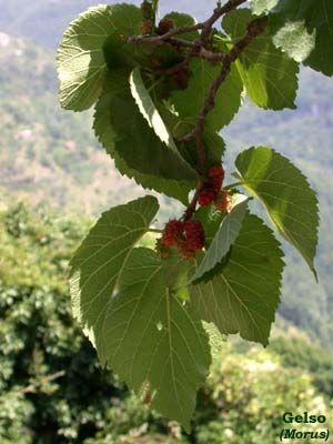 Il Gelso (Morus spp. L.)