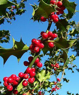 De hulst (Ilex aquifolium) is een plant uit de hulstfamilie (Aquifoliaceae) die van nature voorkomt in het westen en zuiden van Europa, het noordwesten van Afrika en het zuidwesten van Azië.[1][2][3][4] Het is de enige groenblijvende loofboom die van nature voorkomt in de Benelux.[5]